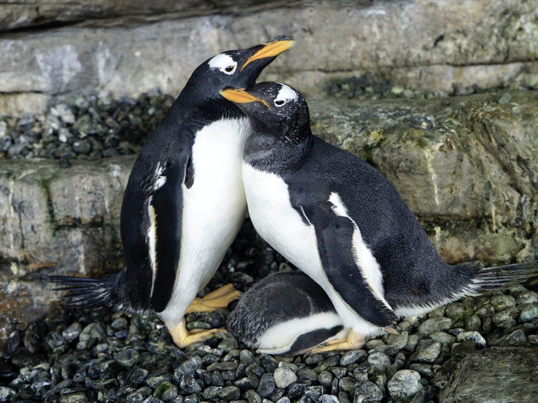 Dos pingüinos lesbianas consiguen ser mamás en un zoológico de Valencia