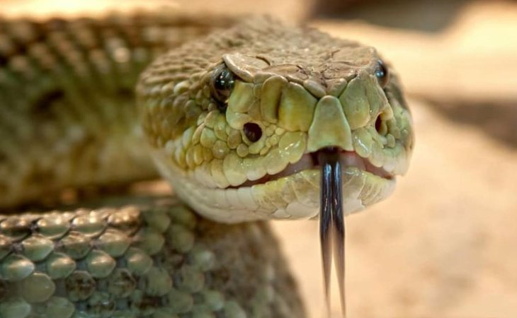 La mordedura de la serpiente Boomslang asegura una terrible muerte