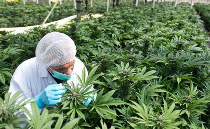 Granja de cannabis en Israel