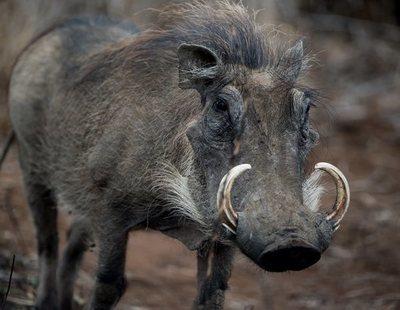 Un jabalí de 105 kg embiste, desarma y ataca a un cazador que disparaba animales en Salamanca
