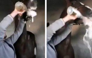 Maltrato animal: un jinete fuerza a su caballo a beber una botella de champagne