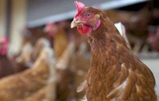 Tres años de cárcel por violar a sus gallinas hasta matarlas mientras su esposa lo grababa