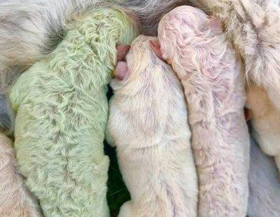2020 no para: nace un perro con el pelo verde en Italia