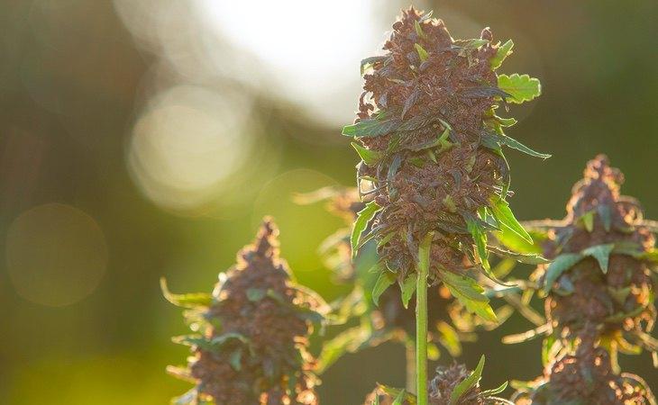 Las estadísticas encuentran un aumento en el consumo y tolerancia del cannabis