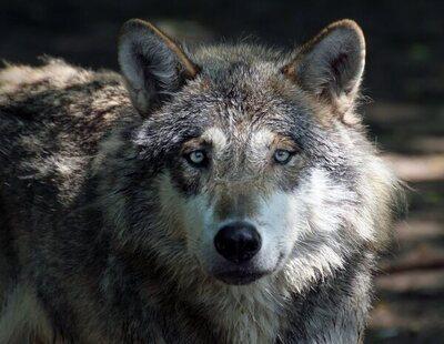 Ya es oficial: queda prohibida la caza del lobo en toda España