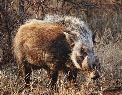 Un jabalí ataca y mata brutalmente al cazador que le acababa de disparar en Italia