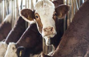 Unos ganaderos encuentran la forma de cargar el móvil con caca de vaca