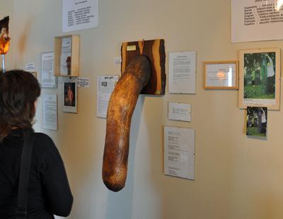 Descubre los penes más grandes del mundo expuestos en un museo