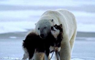 El oso que se hizo viral por acariciar a un perro acabó comiéndoselo