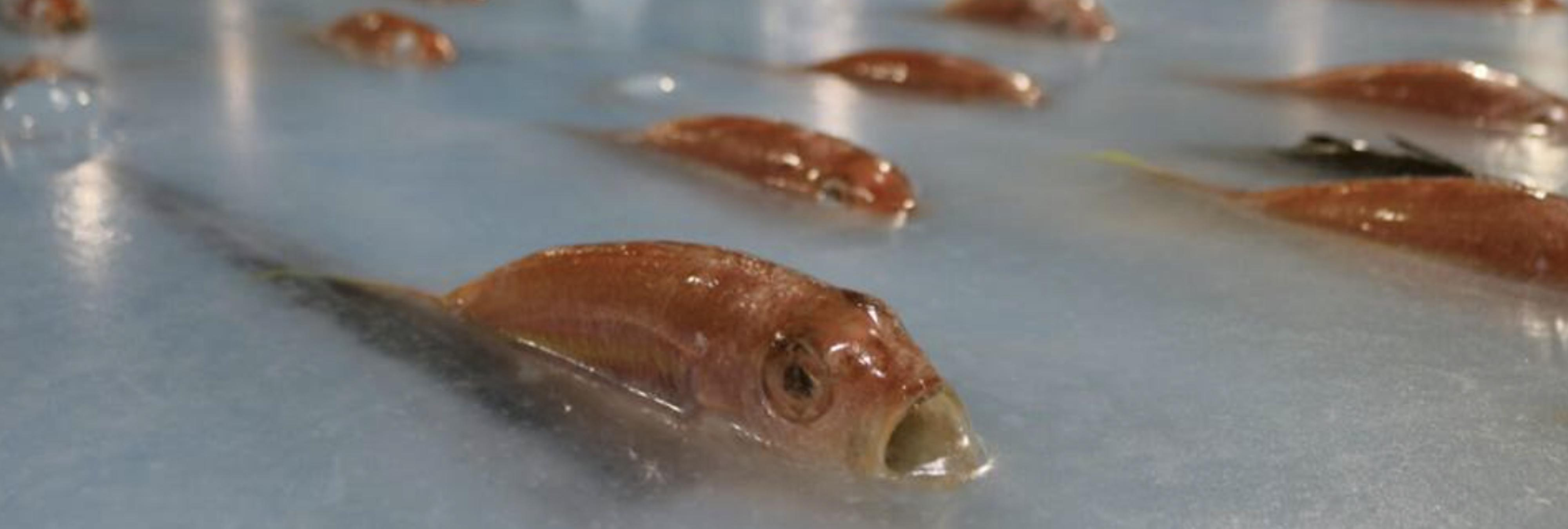 Una pista de patinaje con 5.000 peces congelados causa una gran polémica