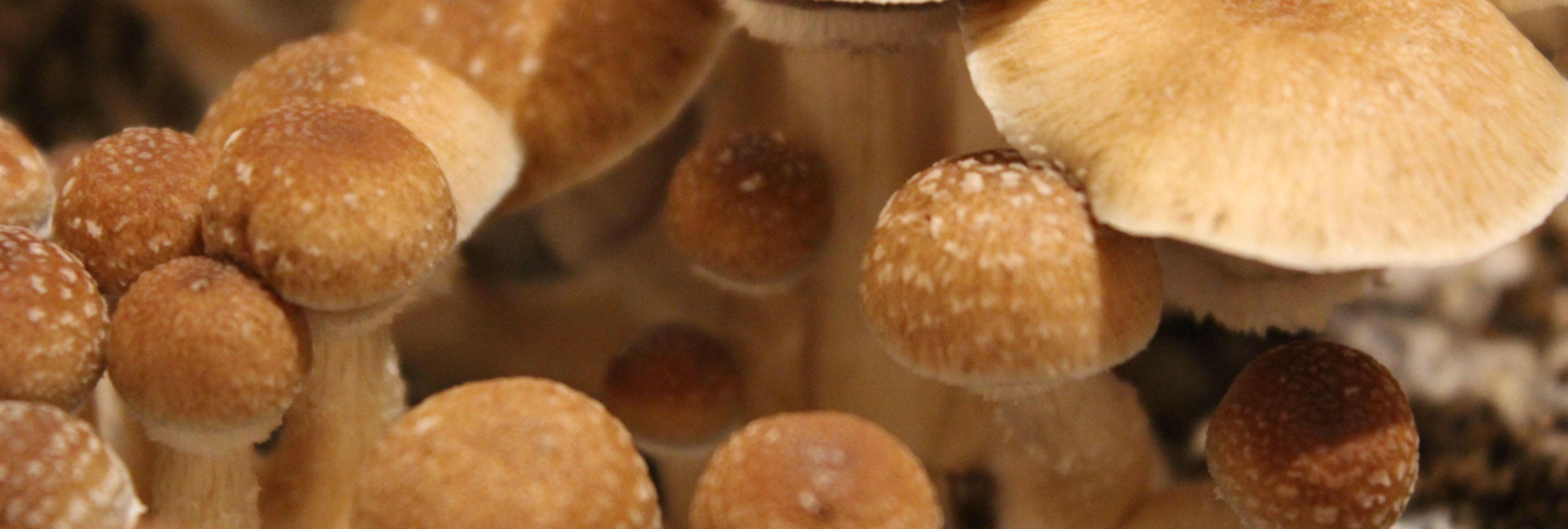 Las setas alucinógenas podrían beneficiar a los pacientes de cáncer