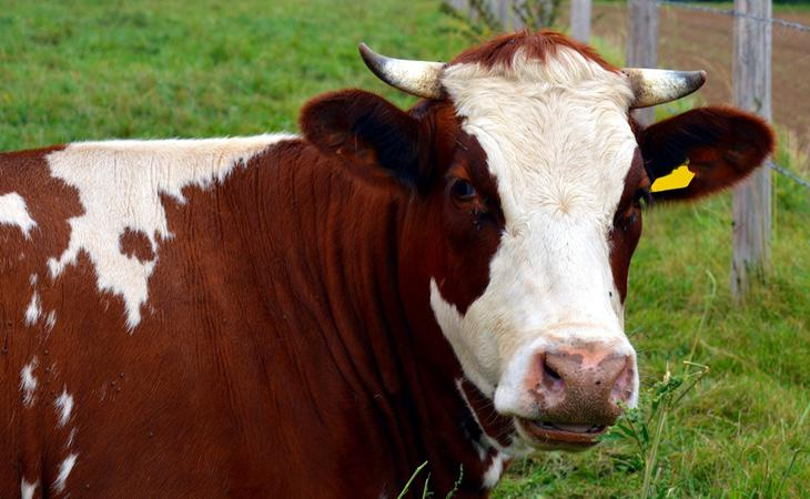 China anunció la apertura de una granja de animales clonados para el consumo