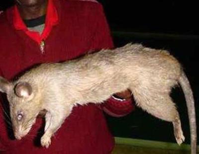 Un bebé de tres meses es devorado por una rata mientras su madre estaba de copas