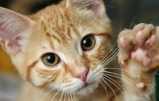 Si te gusta el sadomasoquismo podría ser culpa de tu gato, según este estudio