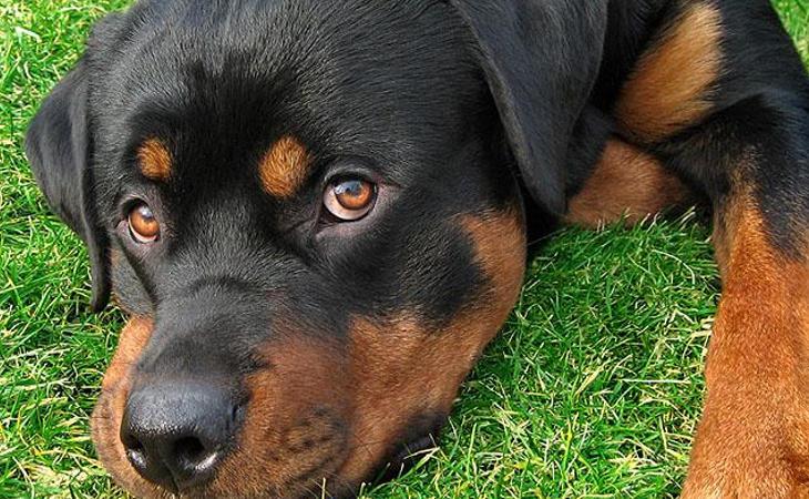 Un perro Rottweiler, arrojado desde un séptimo piso
