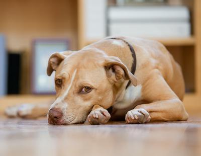 Detenido un hombre por violar al perro de su compañera de piso durante tres años