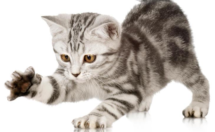 El gato puede transmitir una peligrosa enfermedad