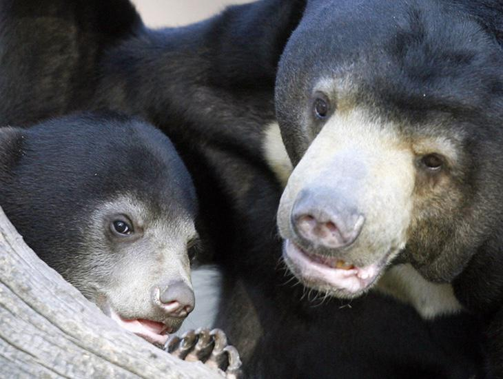 Así se encuentra el oso malayo en su estado natural