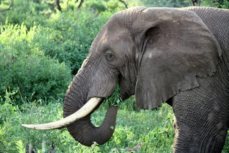 Los elefantes jumbos son especialmente peligrosos y son conocidos como 'reyes de los elefantes'.
