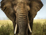 Un hombre muere aplastado por un elefante con el que quería hacerse un selfie