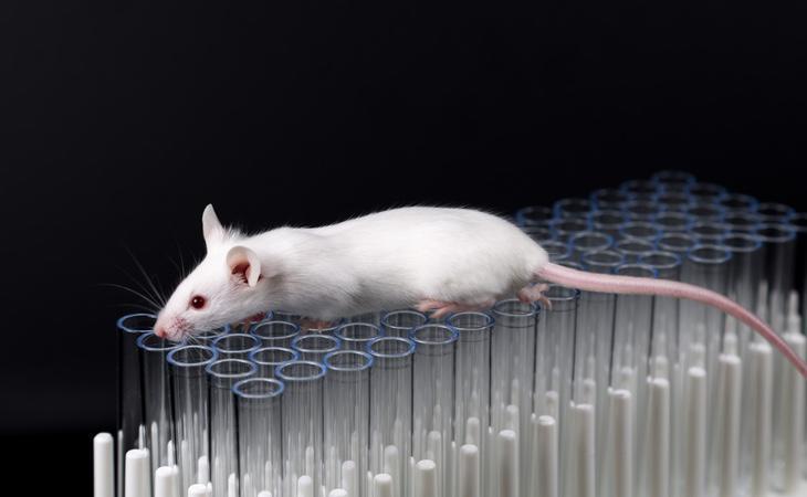 Los ratones a los que se les inyectó la bacteria consiguieron aumentar su longevidad, fertilidad e incluso algunos adultos comenzaron a dar a luz