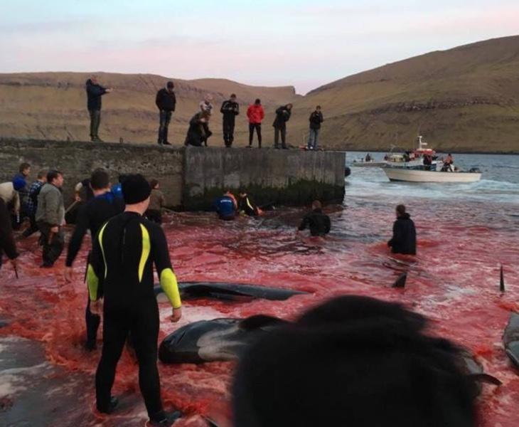 La caza de ballenas en las Islas Feroe ha sido muy cuestionada por los activistas a favor de los derechos de los animales