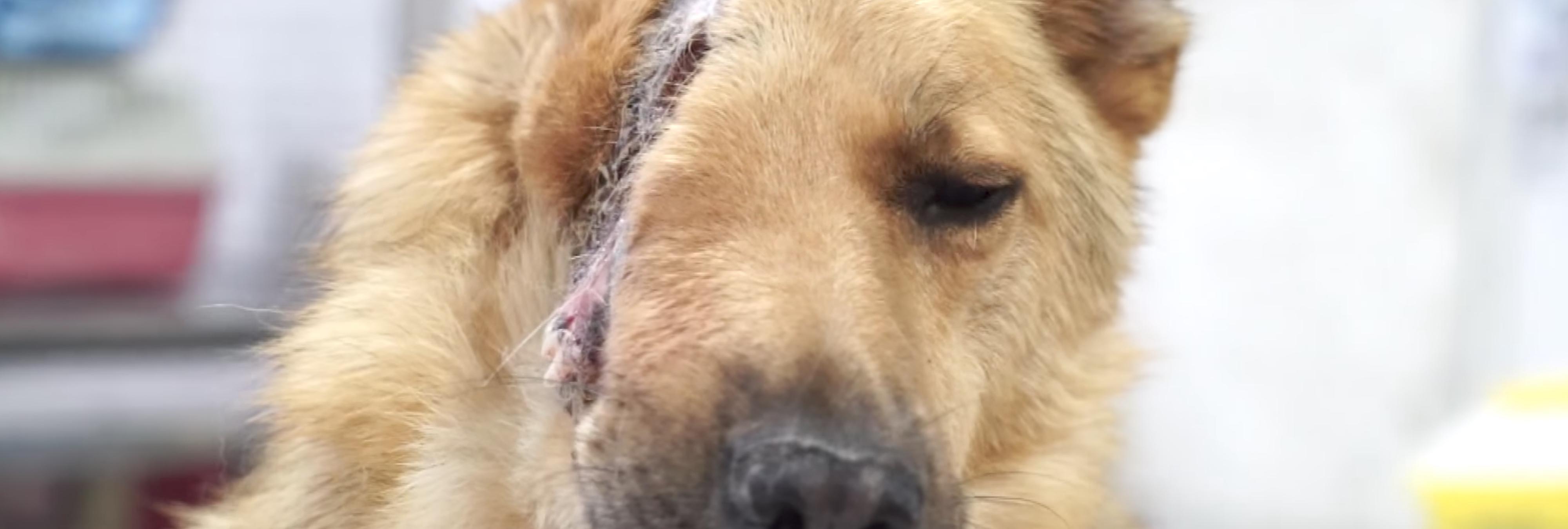 Movilización para salvar la vida de este perro al que seccionaron parte de la cabeza con una pala