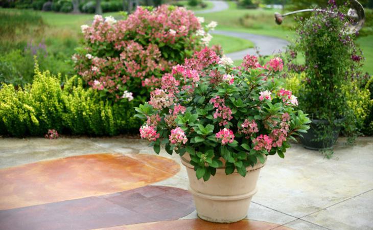 Si las hortensias prosperan, nuestros deseos estarán más cerca de cumplirse