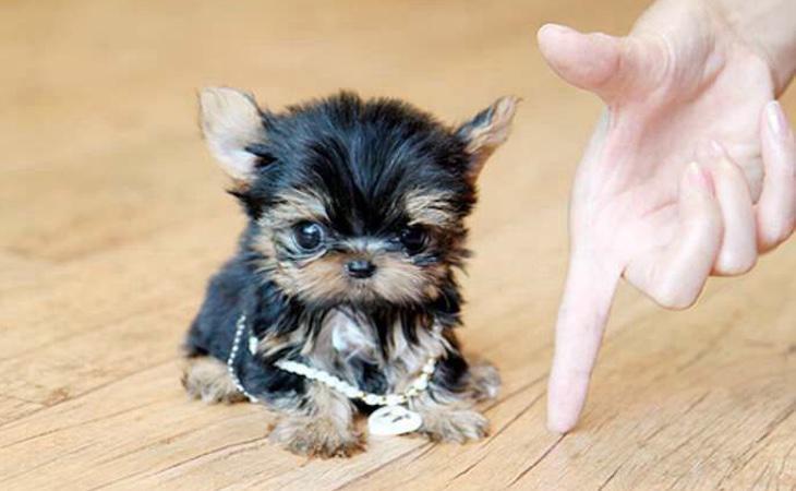 Los perros del tamaño de una mano pueden sufrir muchos problemas de salud