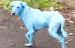 El extraño caso de los perros azules en la India