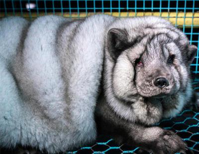 Maltrato animal: zorros monstruosos para fabricar más abrigos de piel en Finlandia