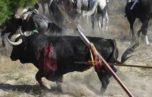 Tordesillas recupera este año el Toro de la Vega