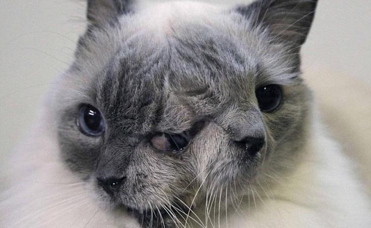FrankenLoui, la gata con diprosopia que sobrevivió 15 años