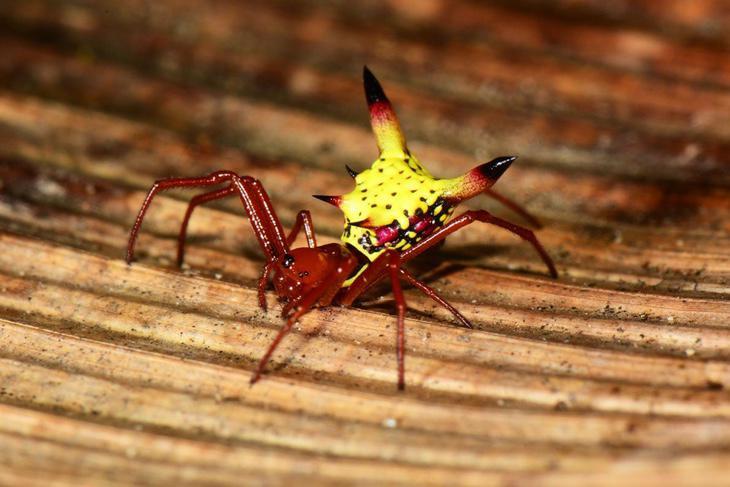 Araña Micrathena sagittata