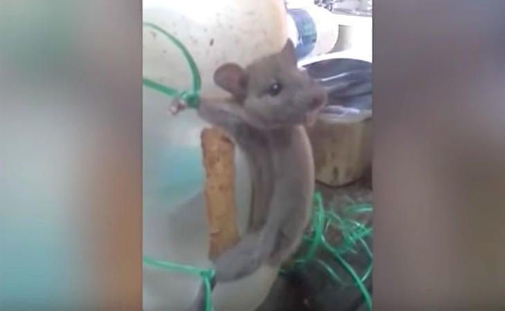 Imagen del raton atado al tarro, torturado por sus agresores