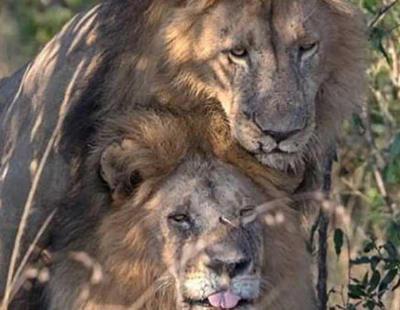 """Descubren a dos """"leones gays"""" manteniendo sexo y el gobierno de Kenia pide un exorcismo"""