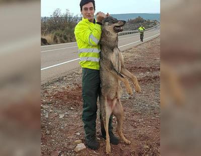 Atropellan a un lobo ibérico y se regocijan en las redes sociales con imágenes