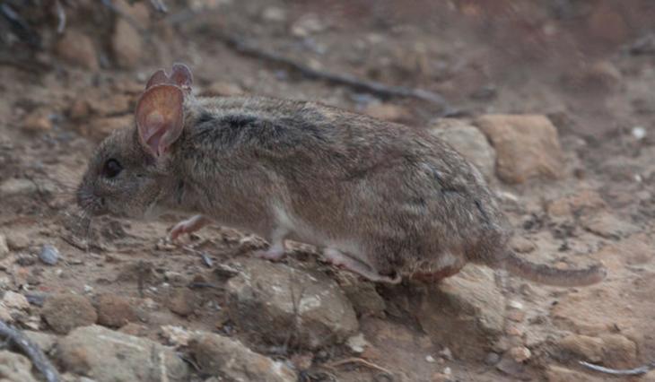 Las ratas de campo son animales que se diferencian de las ratas de ciudad