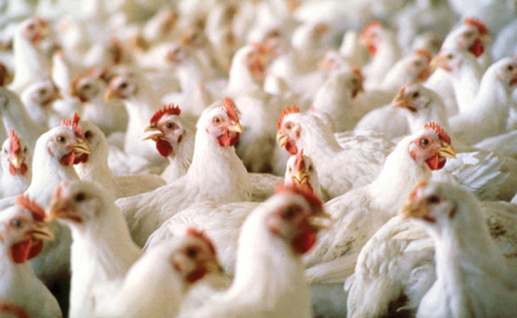 La Unión Europea prohibió en 2006 el suministro de antibióticos a los animales sanos con fines lucrativos