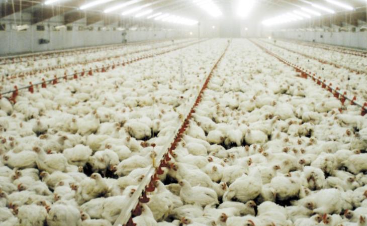 Las empresas obligan a suministrar antibióticos a las gallinas para acelerar su crecimiento
