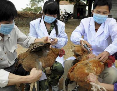Así maltratan a las gallinas para acelerar su crecimiento y producir pollo en masa