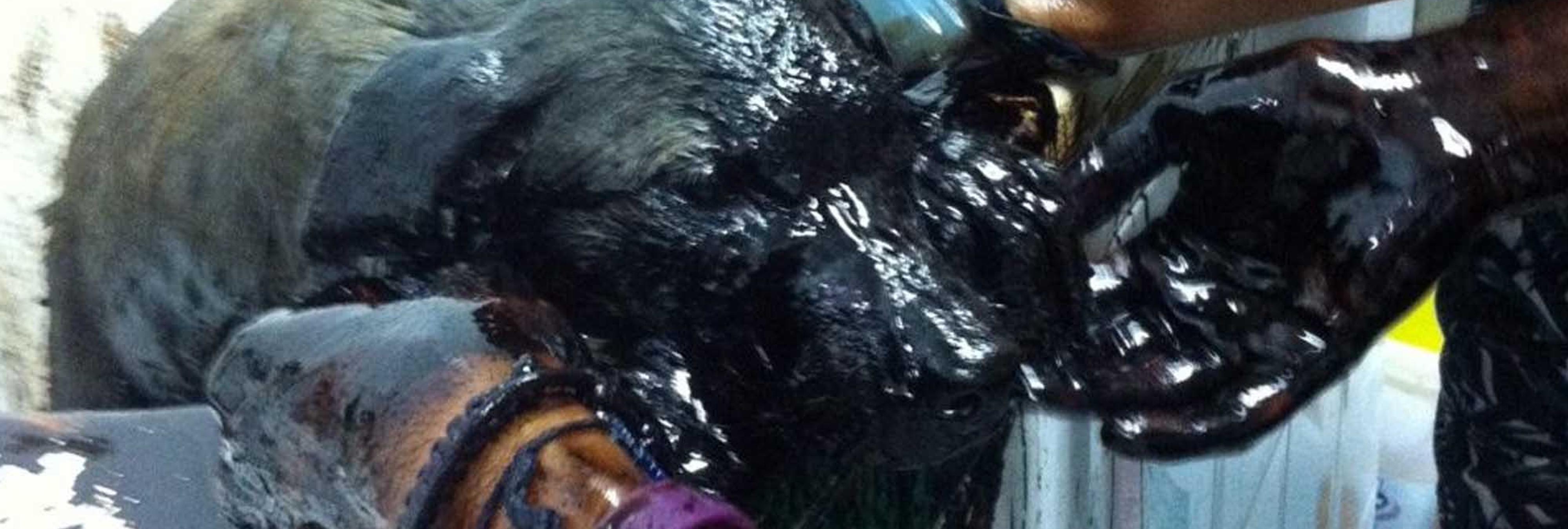 Maltrato animal: fallecen dos cachorros a los que arrojaron litros de alquitrán