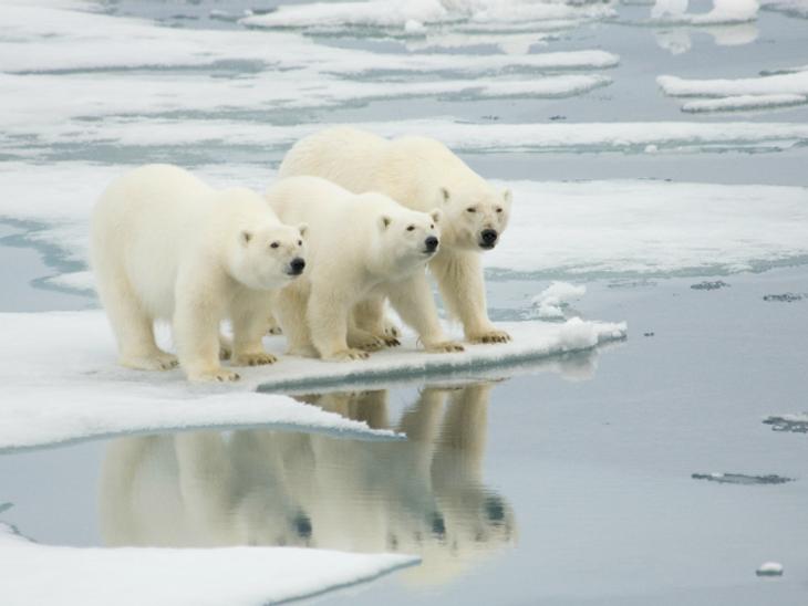 Es probable que el número de osos polares vaya disminuyendo a lo largo de los años a causa de la falta de alimento