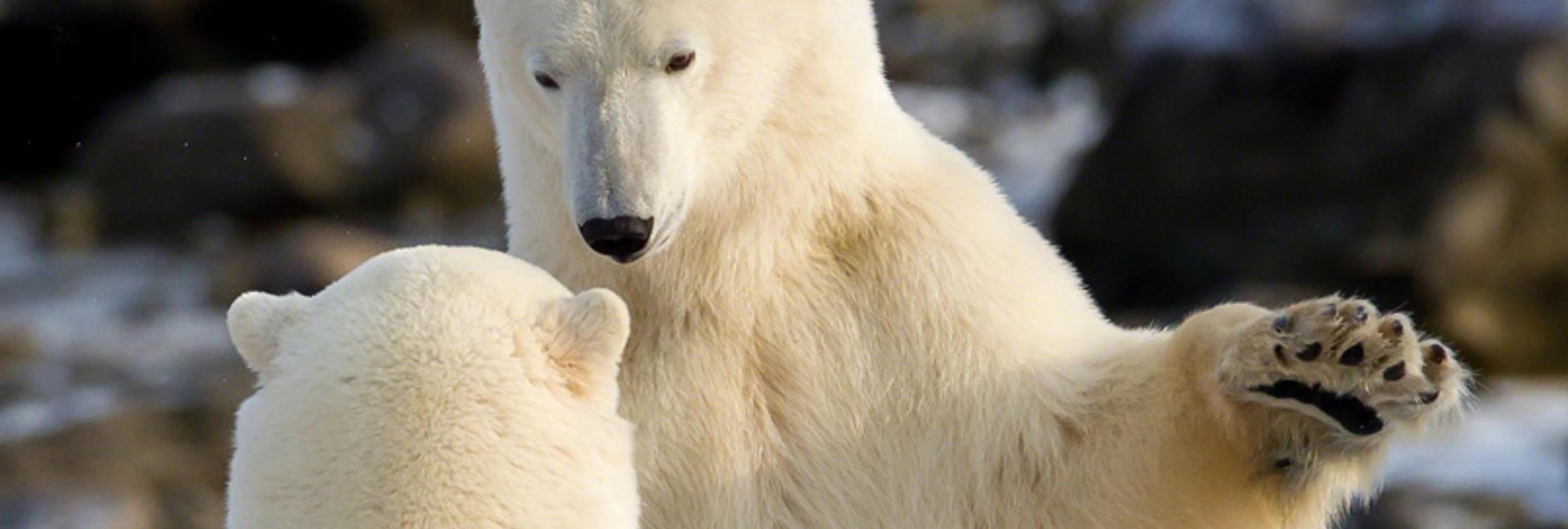 Descubren una isla en el Ártico llena de osos famélicos y desesperados