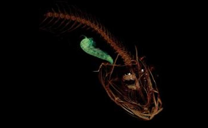 Imagen computarizada del pez caracol de las Marianas