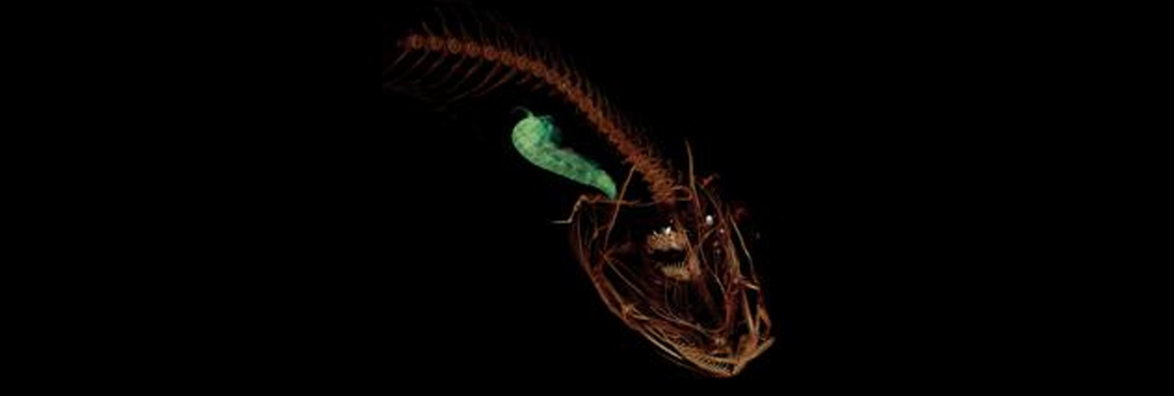 Descubren un nuevo e impresionante pez en la zona más profunda del océano