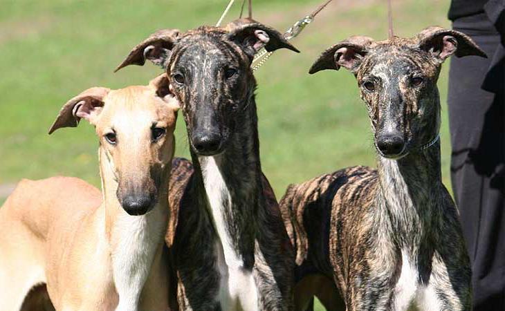 Los galgos son una de las razas de perro que más maltrato sufre