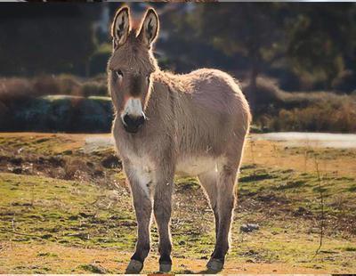 Detenido en Cáceres por matar un burro a golpes, decapitarlo y extraer sus vísceras