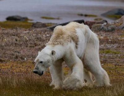 Un oso polar moribundo a causa del cambio climático desata la polémica