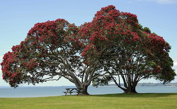 El árbol de Navidad neozelandés es especialmente sencillo